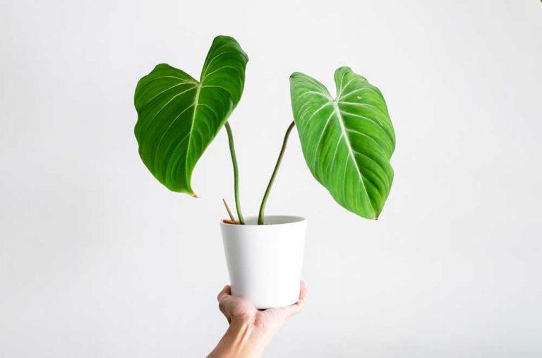 Philodendron Gloriosum | Plant Care Guide
