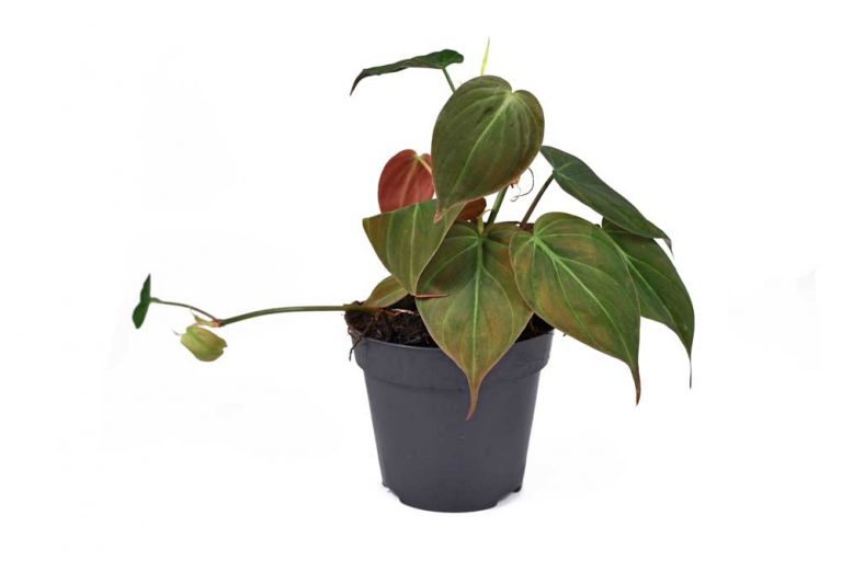 Philodendron Micans | Plant Care Guide