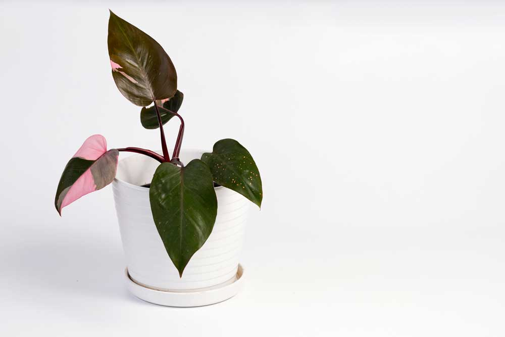 pink princess philodendron