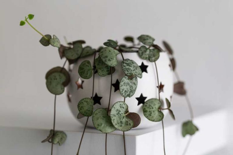 String of Hearts | Plant Care Guide