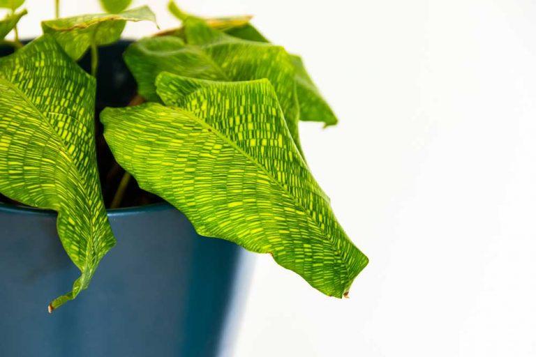 Calathea Musaica | Plant Care Guide