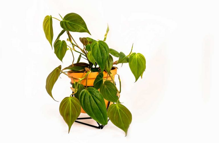 Philodendron Melanochrysum | Plant Care Guide