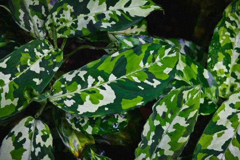 Aglaonema Pictum Tricolor | Plant Care Guide