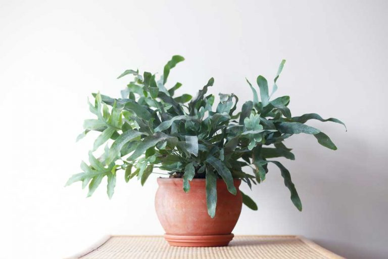 Blue Star Fern | Plant Care Guide