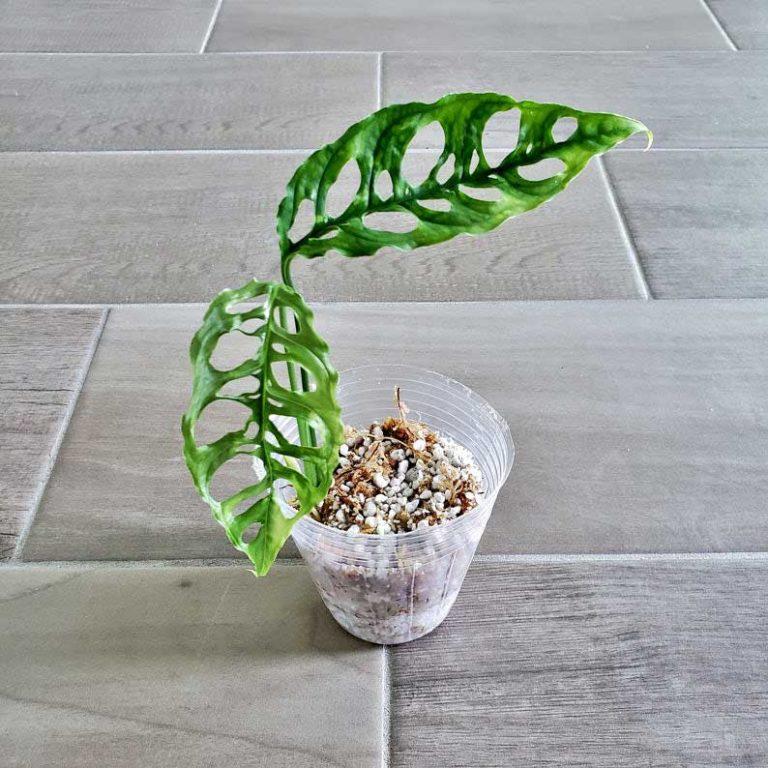 Monstera Obliqua | Plant Care Guide