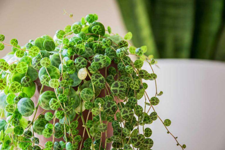 Peperomia Prostrata | Plant Care Guide