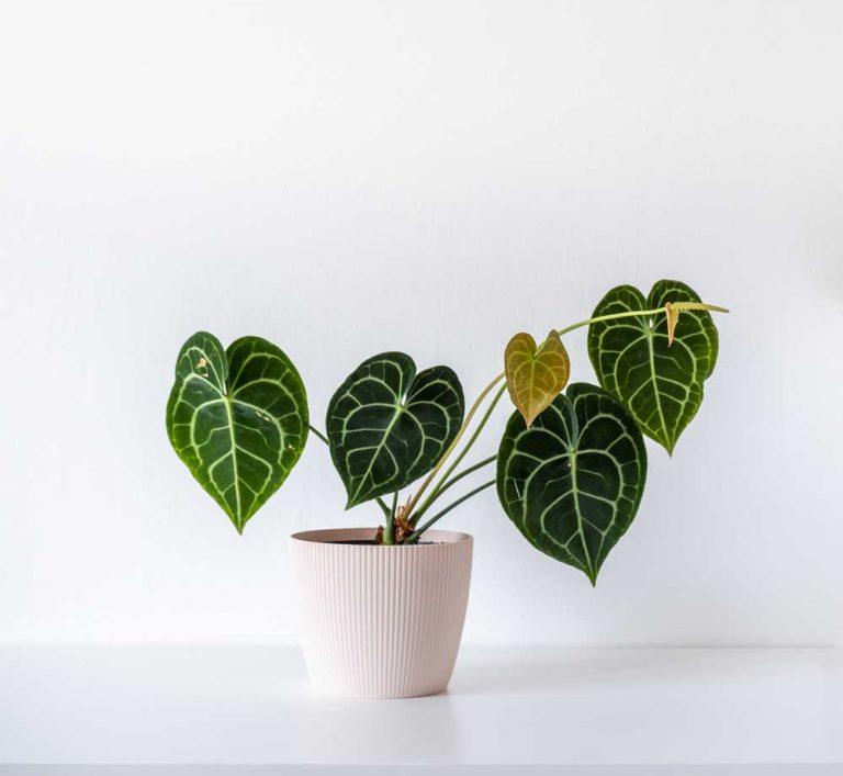 Anthurium Clarinervium Matuda | Plant Care Guide