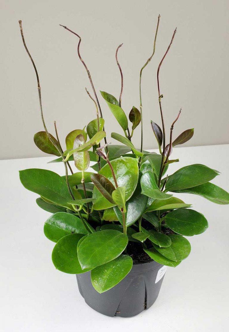Hoya Australis | Plant Care Guide