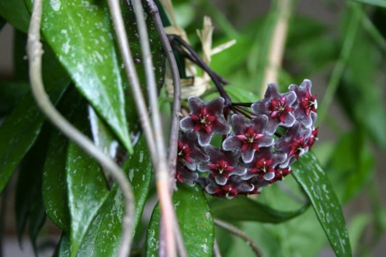 Hoya Pubicalyx | Plant Care Guide